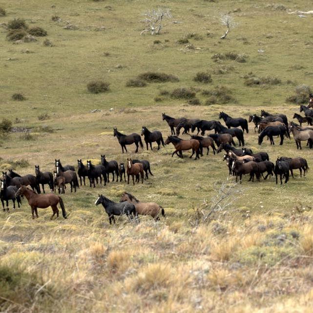 Wild Horses roaming in Patagonia fields.
