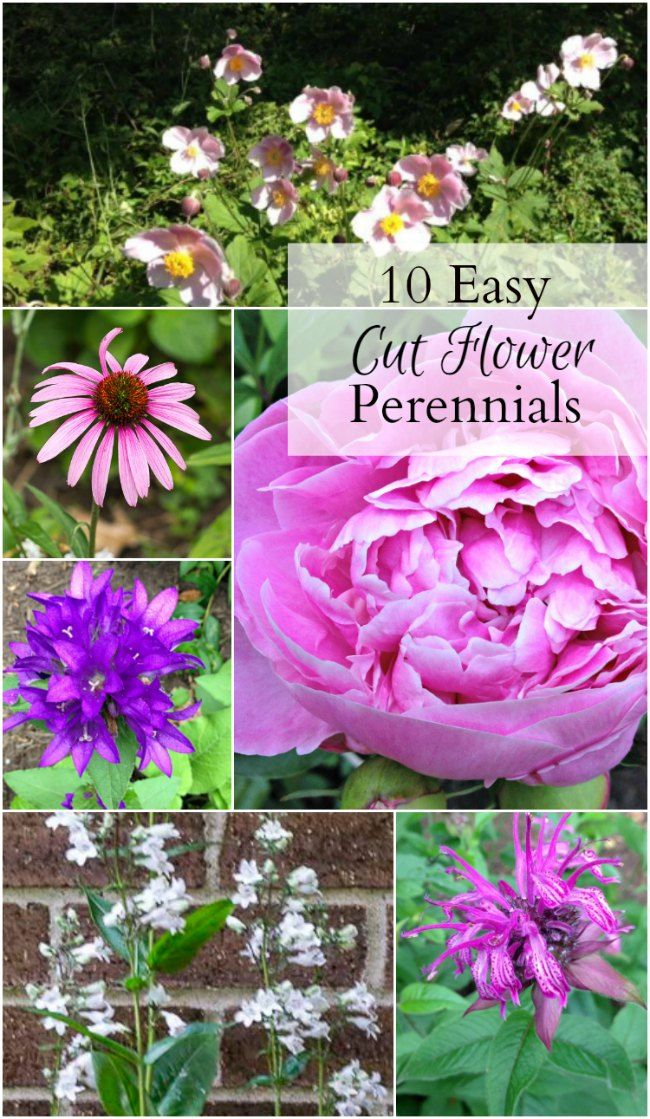 Learn about 10 easy to grow cut flower perennials that will come back year after year and look beautiful in floral arrangements.