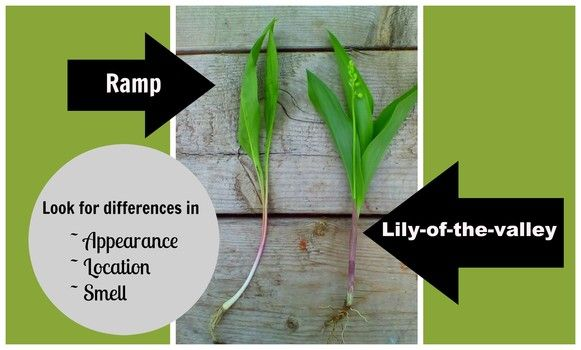 How to tell the difference between ramps and lily-of-the-valley