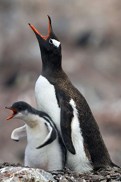 Week in Wildlife: Juvenile Gentoo penguin demands food, Antarctic Peninsula - 2011