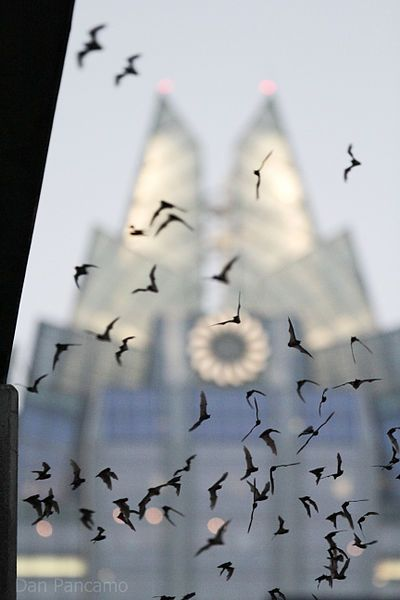 Bats in flight at the Congress Avenue Bridge  http://hubpages.com/hub/What-to-See-in-Only-48-Hours-in-Austin-Texas