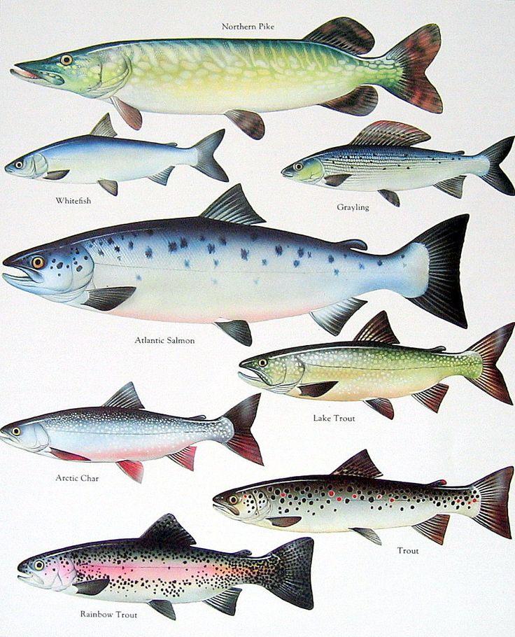 Northern Pike, White Fish, Atlantic Salmon, Lake Trout Vintage 1984 Fish Book Plate. $10.00, via Etsy.