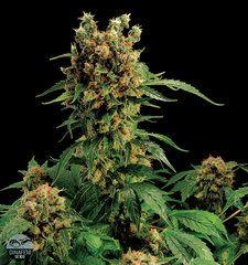 California Hash Plant Feminised Cannabis Seeds - beautiful buds - #Marijuana #Cannabis #maryjane