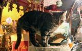 gato de bollini