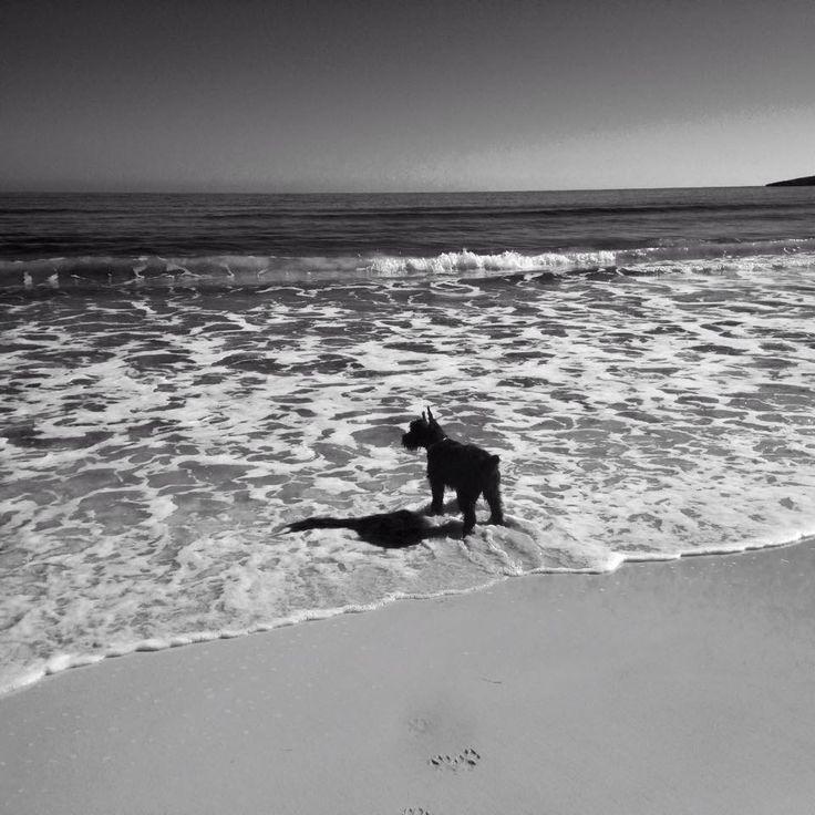 Watching the sea. Puppy giant schnauzer