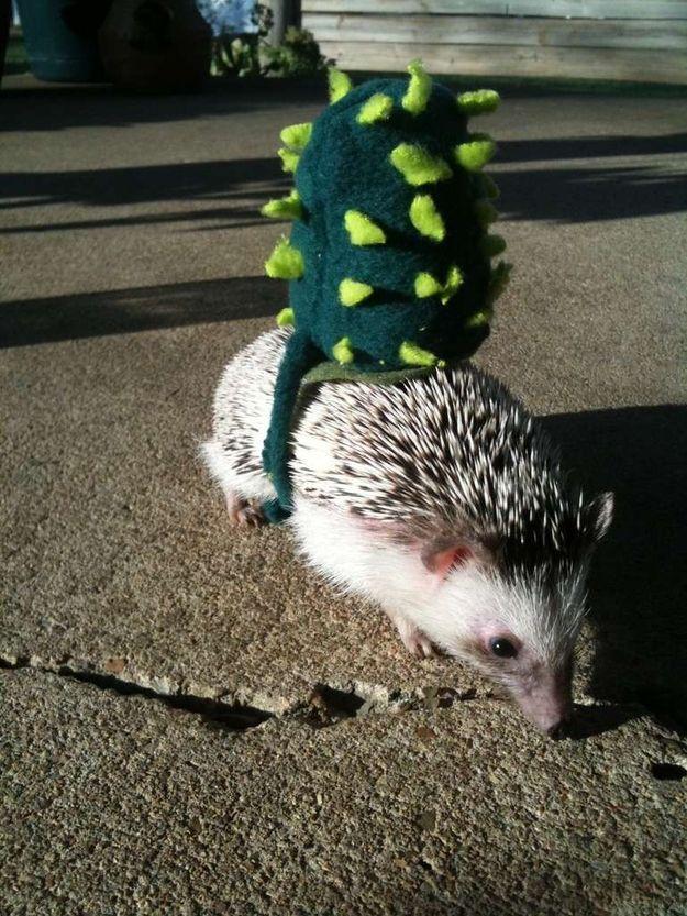 Cactus Costume for a Hedgehog.