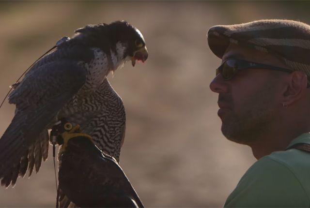 How Farmers Are Using Falcons to Protect Crops   Mental Floss