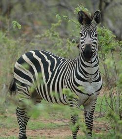 Plains Zebra_Equus quagga