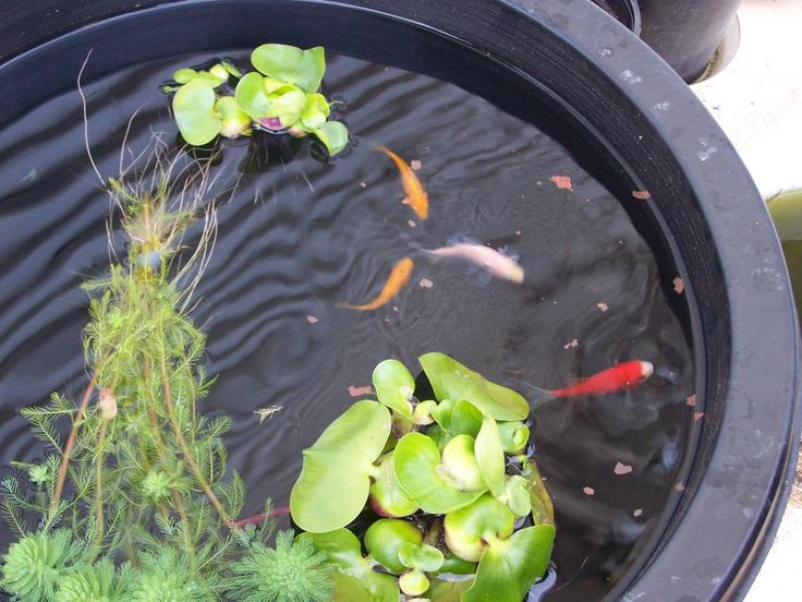 59 best images about plants zone 2 on pinterest for Small goldfish pond