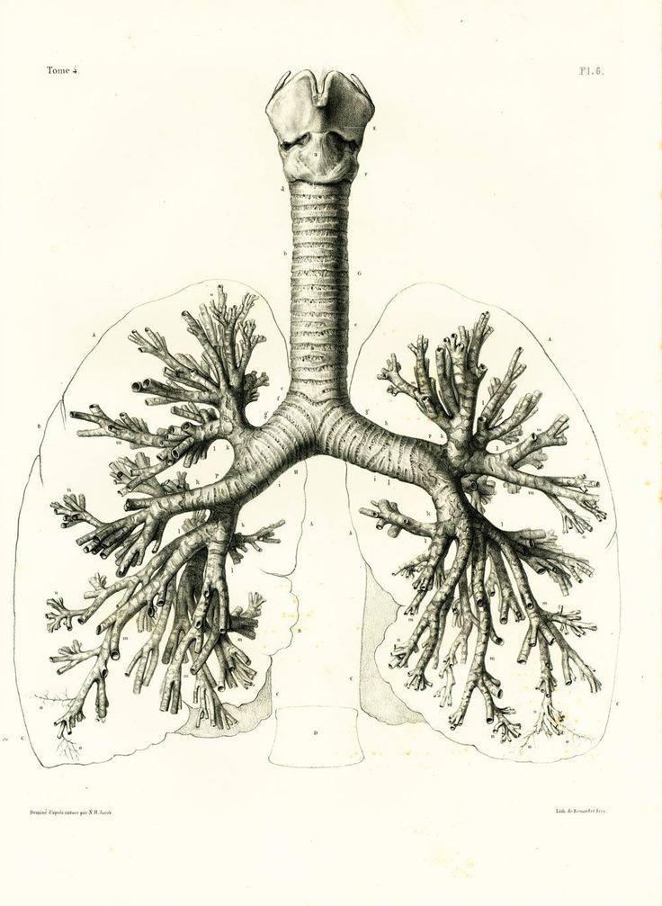 1836 Poumons Trachée Artère Dessin Planche Anatomique Bourgery, Poster Anatomie Medecine de la boutique sofrenchvintage sur Etsy