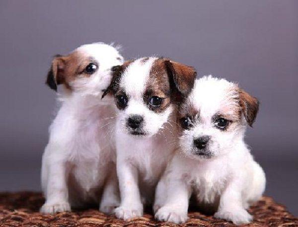 Shih Tzu Chihuahua Mix Puppies Zoe Fans Blog Cute Baby