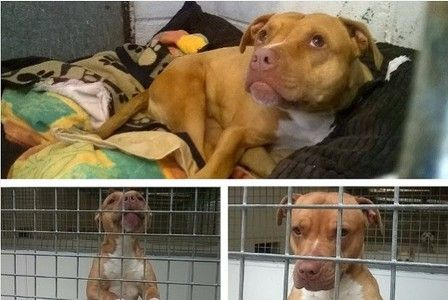 A dangerous dog who was locked up in a tiny cage with no exercise for two years will get a taste of freedom thanks to media coverage of her case.    Pitbull Stella who was only allowed out of her...