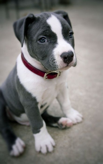 Cute pit bull puppy sitting on the floor..