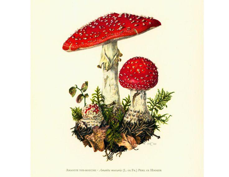 1962 Amanite Tue-Mouche Planche Originale Identification Champignons Toxiques Vénéneux Illustrations Dessin Mycologie de la boutique sofrenchvintage sur Etsy