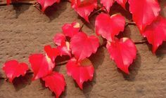 Boston ivy will cover ugly walls and fences year-round