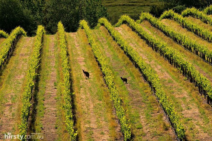 #Kangaroos inspecting the #grape #vines in the #Barossa Valley.