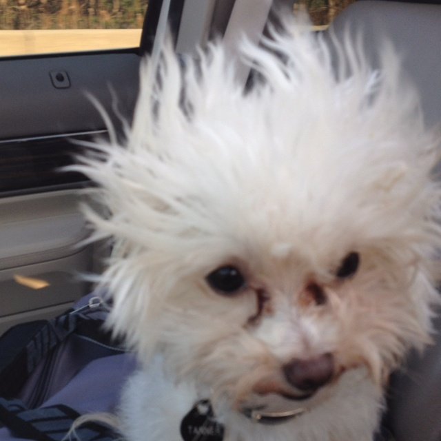Fantastic 17 Best Images About Crazy Hair Animals On Pinterest Guinea Pigs Hairstyles For Women Draintrainus