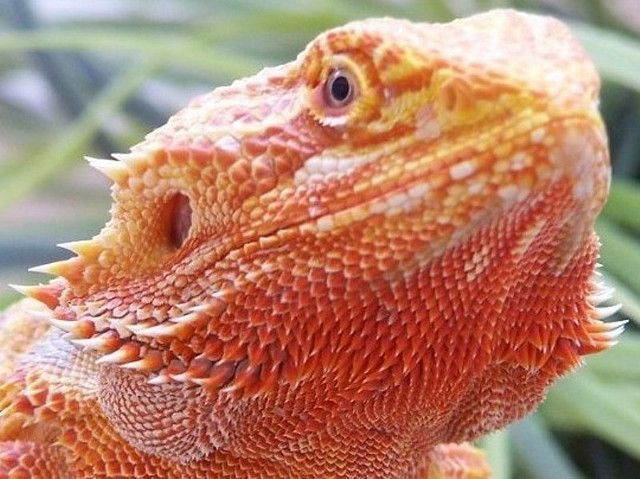 Bearded Dragon, I want to get one in this color and name him Kvothe!