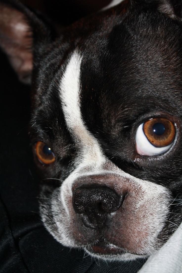 Cassie boston terrier bostons pinterest love love