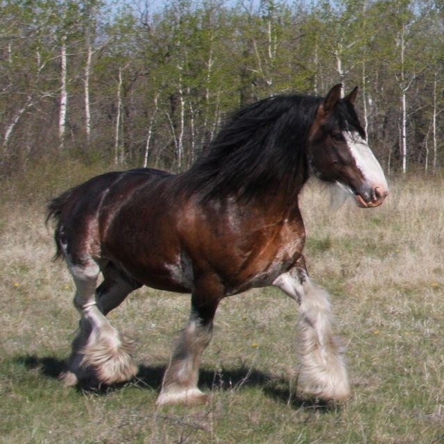 images of clydesdale horses | PROS and CONS: Clydesdale horse
