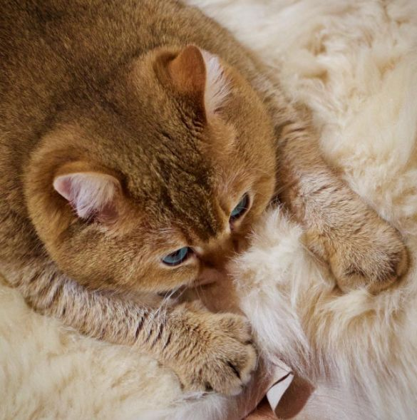 Best Hosico Images On Pinterest Cats Beautiful And British - Hosico the cat is pretty much the real life puss in boots