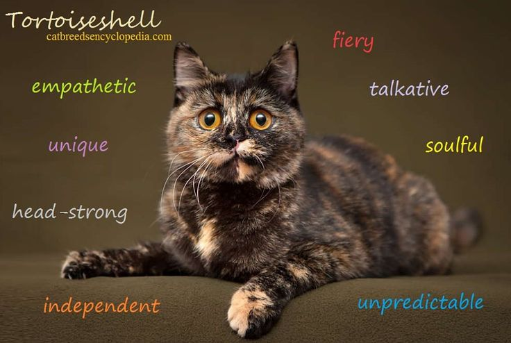 Many pure-bred cats can be Tortoiseshell cats, it's a color, not a breed...