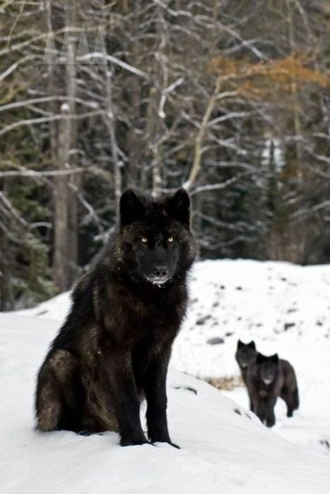 wolf in black and - photo #35