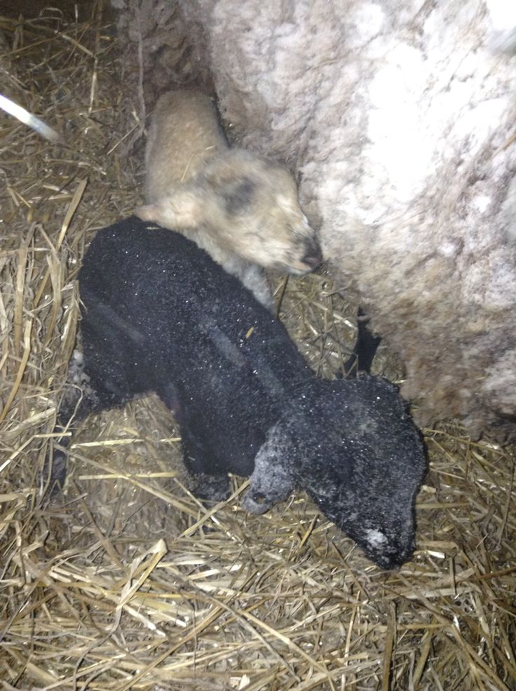 Typical of our sheep to start popping out babies in the middle of a deadly snow storm...
