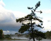 Georgian Bay Pine Tree in Colour - Buy this photo on etsy
