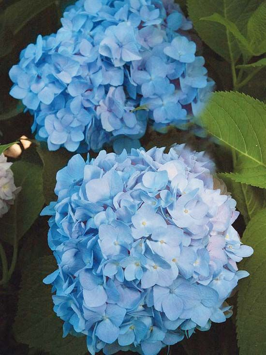 You can't go wrong with 'Endless Summer'. This gorgeous hydrangea blooms all season -- even in the north. It's great for cutting, with 8-inch-wide flower clusters. The blooms range from pink in alkaline soils to blue in acidic soils. The selection is wonderfully disease resistant, too.