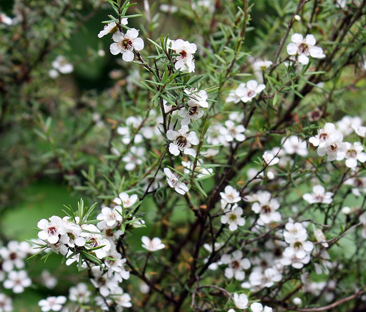 These are  manuka flowers. Bees make the world's most wondrous honey from them. It's reputed to have magical healing powers, but unlike most medicines, it tastes wonderful. I snapped this pic in the Kaniwhanwha stream area on Mt Pirongia.