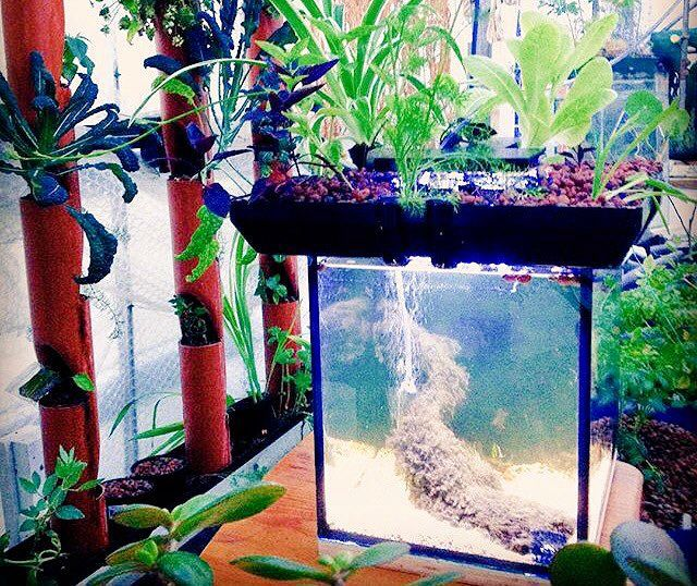 80 best images about aquaponics on pinterest strawberry for Aquaponics fish tank