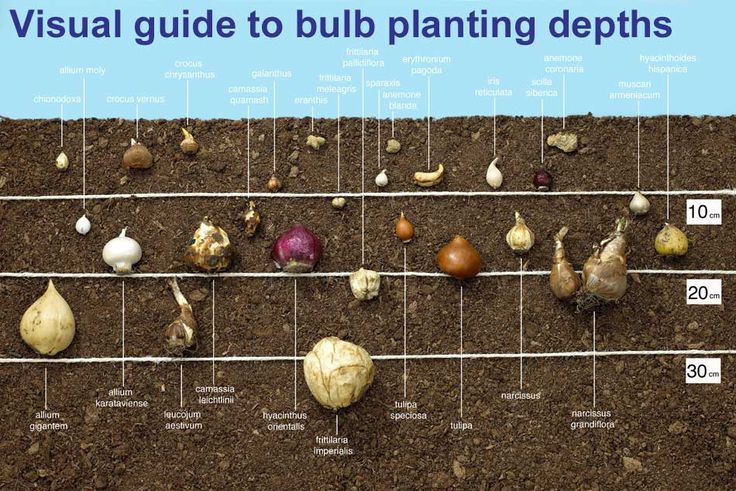 Guide to planting depths for bulbs