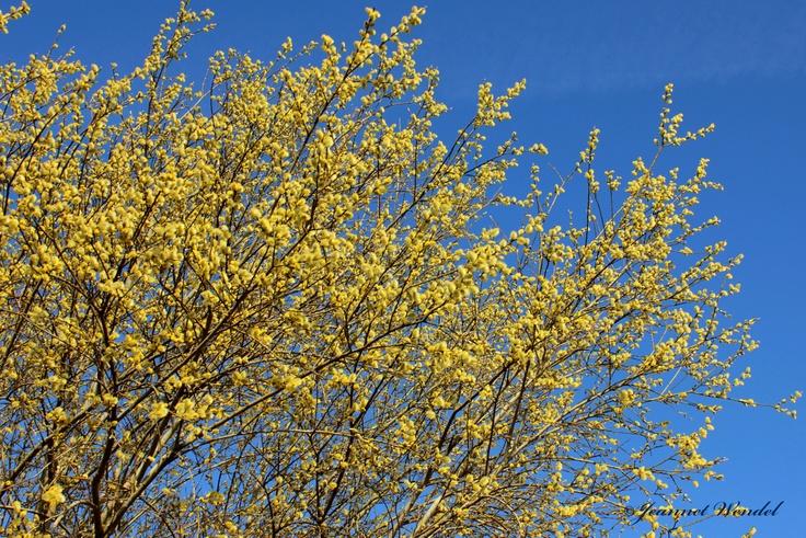 De fris gele kleur van de Lente, met een prachtige blauwe lucht. De katjes op de top van hun bloei. Gewoon overal in Drenthe