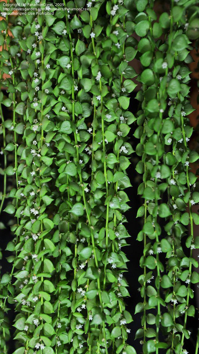 Full size picture of Million Hearts (Dischidia ruscifolia)