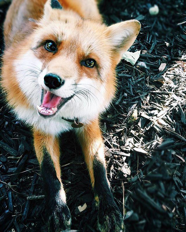 Pinterestteki Den Fazla En Iyi Domestic Fox Fikri Tilki - Domesticated baby fox is the cutest and sleepiest pet ever
