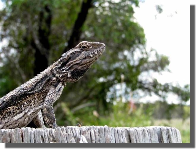 BEARDED DRAGON LIZARD - SEE OUR SLIDESHOW OF AUSTRALIAN NATIVE ANIMALS, LANDSCAPES & SCENERY AT MUDGEE NSW