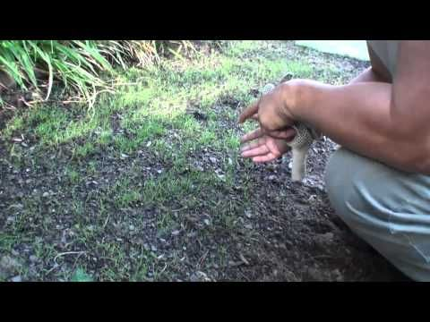 ▶ Compadre Zenith Zoysia grass Seed vs Plugs Part 1 How to plant seeds Maryland area - YouTube