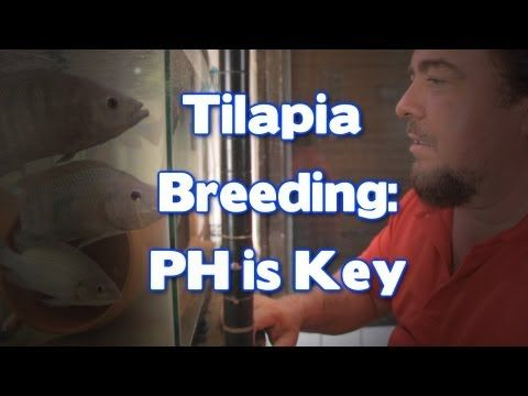 ▶ Tilapia Breeding: PH is Key - YouTube