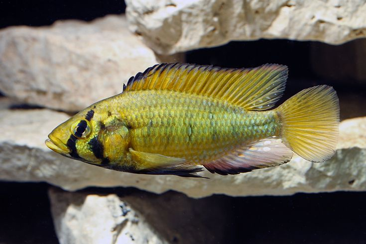 Cichlids ~ Astatoreochromis alluaudi  (Pellegrin, 1904) Common name:  Alluaud's Haplo Location:    Lake Victoria, Lake George, Lake Edward, Lake Kyoga and several rivers Adult size:    7 inches (19 cm) Diet:    mollusk crusher (omnivore)  _________________________________________________________________________