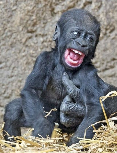 Ticklish baby gorilla Jengo play's his mothers hand at the zoo in Leipzig, Germany
