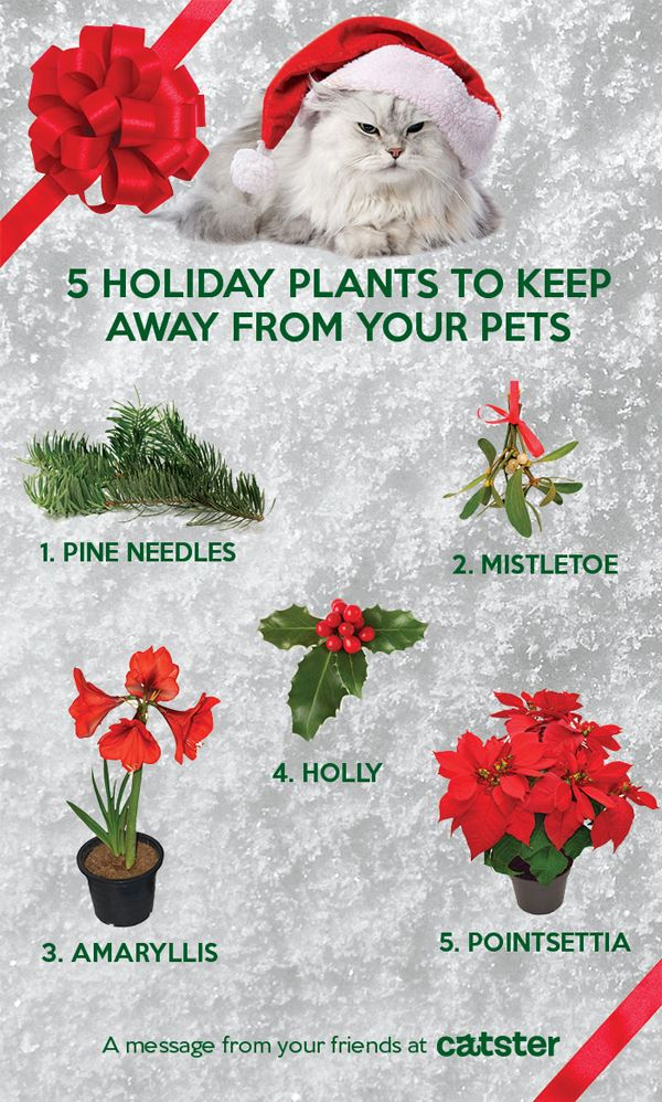 Since some of us keep our plants alive all year long, holiday plants are also something to keep an eye on. Keep your cat friends safe during the holidays with this infographic. Learn more here: www.aspca.org/pet-care/holiday-safety-tips