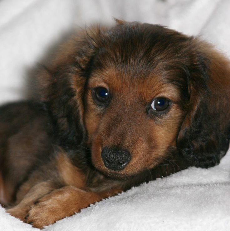 Dachsund puppy. Yep, I'd cuddle that.