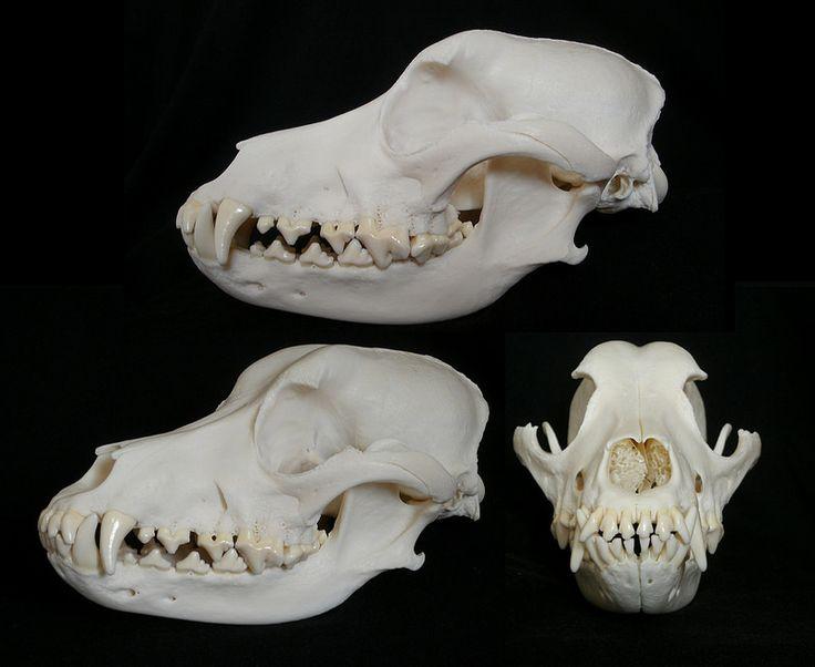 Crâne de Chien / Dog Skull (Canis familiaris)