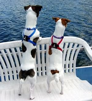 Both of mine are black and white Jack Russell Terriers