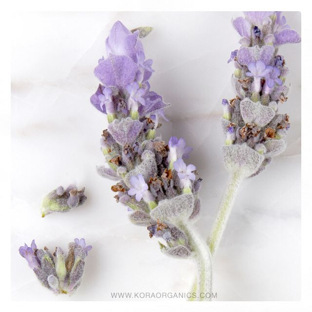 Lavender helps to calm both your skin and your mood! Used as a key ingredient in KORA Organics products, Lavender promotes a restful sleep among many other benefits! xxx