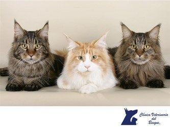https://flic.kr/p/SZ9GNP | Existen más de cuarenta razas de gatos. CLÍNICA VETERINARIA DEL BOSQUE 3 | CLÍNICA VETERINARIA DEL BOSQUE. ¿Sabías que existen más de cuarenta razas distintas de gatos? Así es, en el mundo existen más de cuarenta razas y más de 500 millones de gatos domésticos. Al momento de elegir tener una mascota, se absorben responsabilidades importantes ya que de ti depende la vida de otro ser vivo. En Clínica Veterinaria del Bosque te recomendamos traer a tu mascota a…