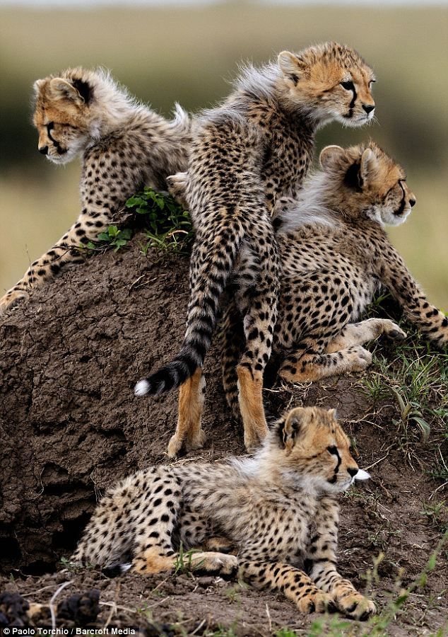 ~~Cheetahs cubs on a termite mound by Paolo Torchio/Bancroft Media~~