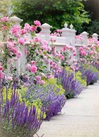 roses, lavender, flowers, garden, Summer, pink, purple, pretty, white picket fence.