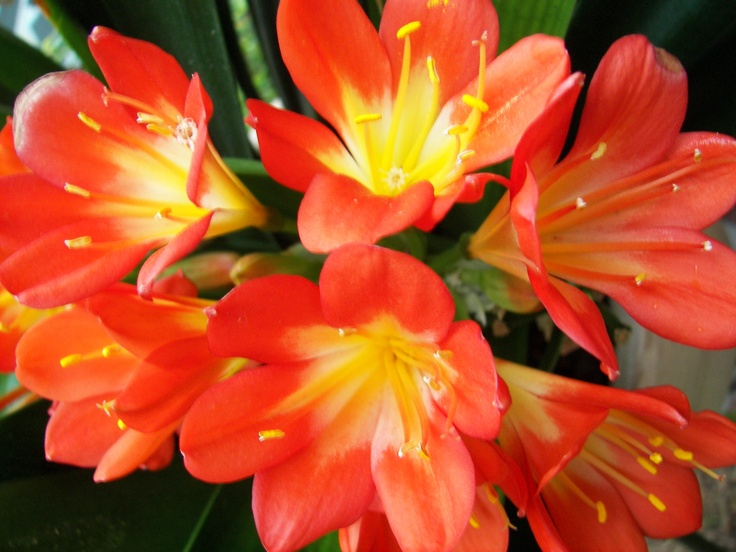 60 best images about clivias on pinterest the shade flower and greenhouses. Black Bedroom Furniture Sets. Home Design Ideas